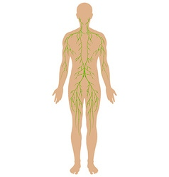 Lymphatic diagram in human being vector