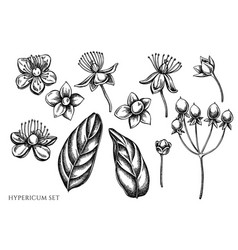 set hand drawn black and white hypericum vector image