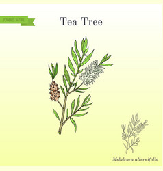 Tea tree melaleuca alternifolia or narrow-leaved vector