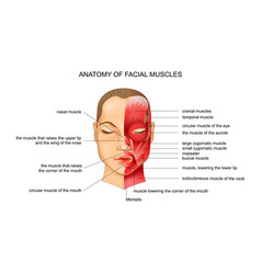 Anatomy of facial muscles vector