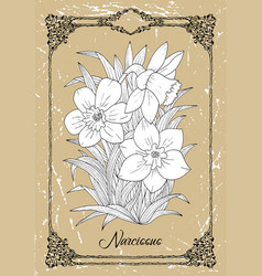 Black and white drawing narcissus vector