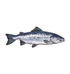 Hand drawn norvegian salmon sketch style vector image