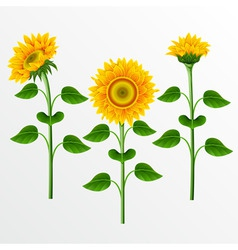 collection of yellow sunflowers on the white backg vector image