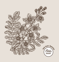 hand drawn olibanum tree branch with flowers vector image vector image