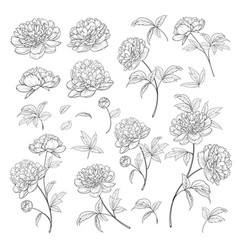 Peonies bud collection elements peony isolated vector