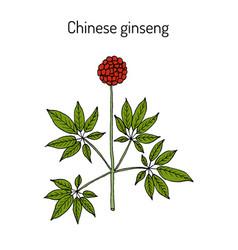 chinese ginseng panax notoginseng or three-seven vector image