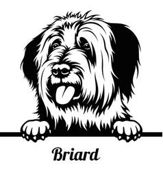 peeking dog - briard breed - head isolated vector image