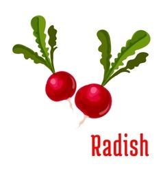 Radish tuber vegetable plant icon vector