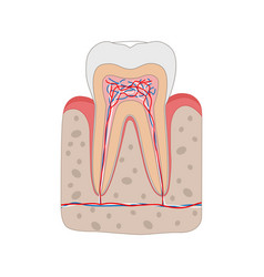 Healthy tooth diagram isolated on white background vector
