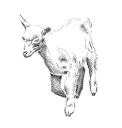 small goat isolated on the white vector image