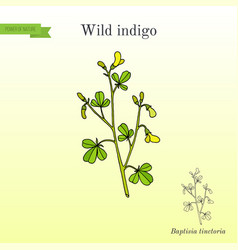 Wild-indigo baptisia tinctoria or broom-clover vector