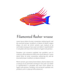 filamented flasher wrasse fish on white background vector image