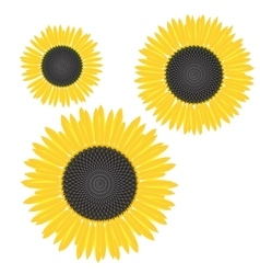 Yellow sunflower with mature seeds and vector