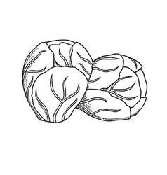 Hand drawn brussels sprouts cabbage vector