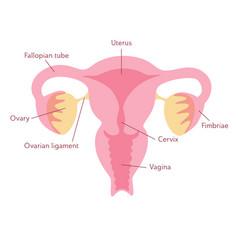 isolated of uterus vector image