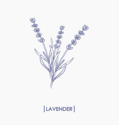 Hand drawn lavender bouquet vector