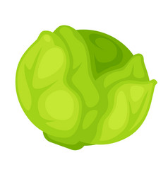 green organic cabbage vector image vector image