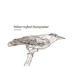 yellow-tufted honeyeater lichenostomus melanops vector image
