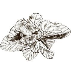 Hand Drawn Begonia Flower Sketch vector image