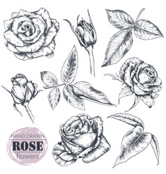 Set hand drawn rose flowers and leaves isolated vector