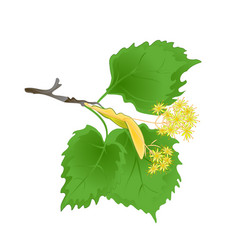 Tvig tilia-linden branch with leaves with linden vector