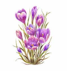 Watercolor saffron or crocus vector