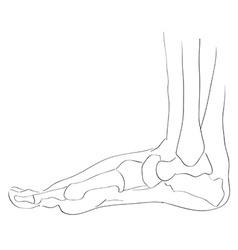 internal lateral view foot bones vector image