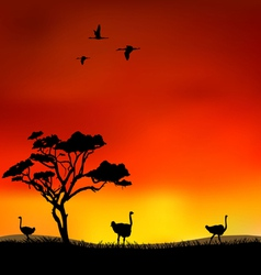 ostriches vector image