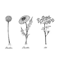 Hand drawn of dandelion and dill plants vector