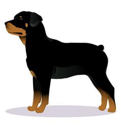 Rottweiler dog vector