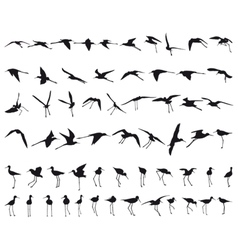 Sixty Black-winged Stilts vector image