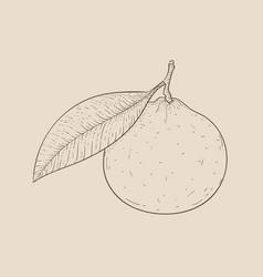 Clementine hand drawn outline sketch on beige vector