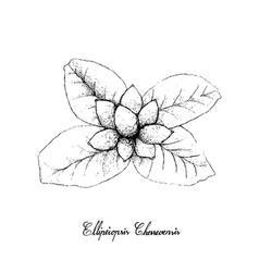 Hand drawn of ellipeiopsis cherrevensis fruits on vector