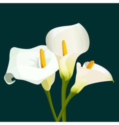 Bouquet of white calla lilies on dark green vector image vector image