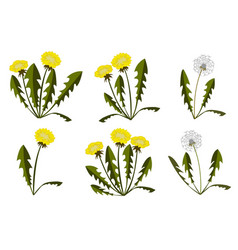set of dandelions on white background vector image