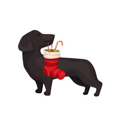 small dog holding christmas stocking with candies vector image