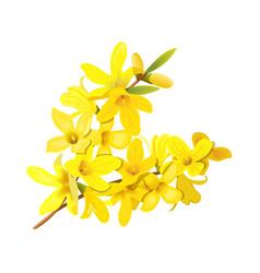 forsythia suspensa fluffy spring tree branch vector image