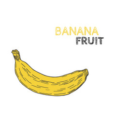 Hand drawn banana fruit isolated on white vector