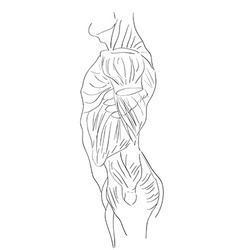 Torso muscles lateral vector