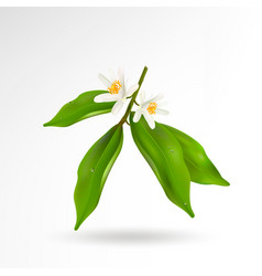 Blossoming citrus plant branch with flowers and vector
