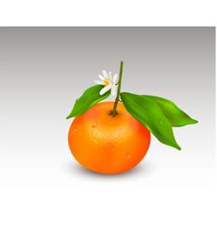 Single citrus fruit mandarin or tangerine on vector