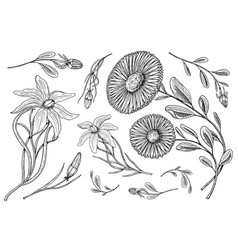 lily with leaves and buds herb medicinal vector image