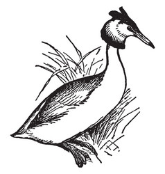 Great crested grebe vintage vector