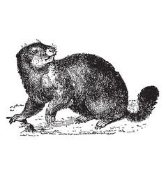 Marmot vintage vector