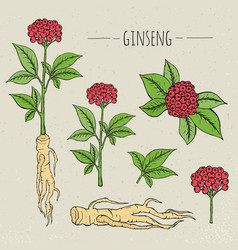 ginseng medical botanical isolated vector image
