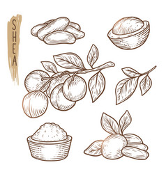 sketch of shea elements set of branches vector image