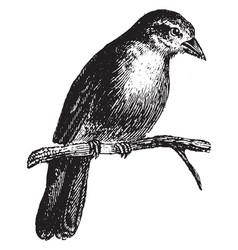 Sparrow vintage vector