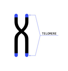 Telomere end of chromosome vector