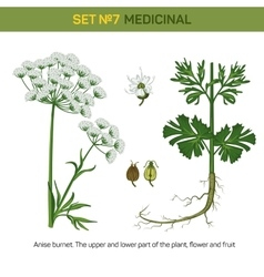 Anise or aniseed burnet flowering medicinal plant vector