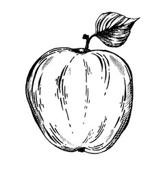 Apple fruit engraving vector